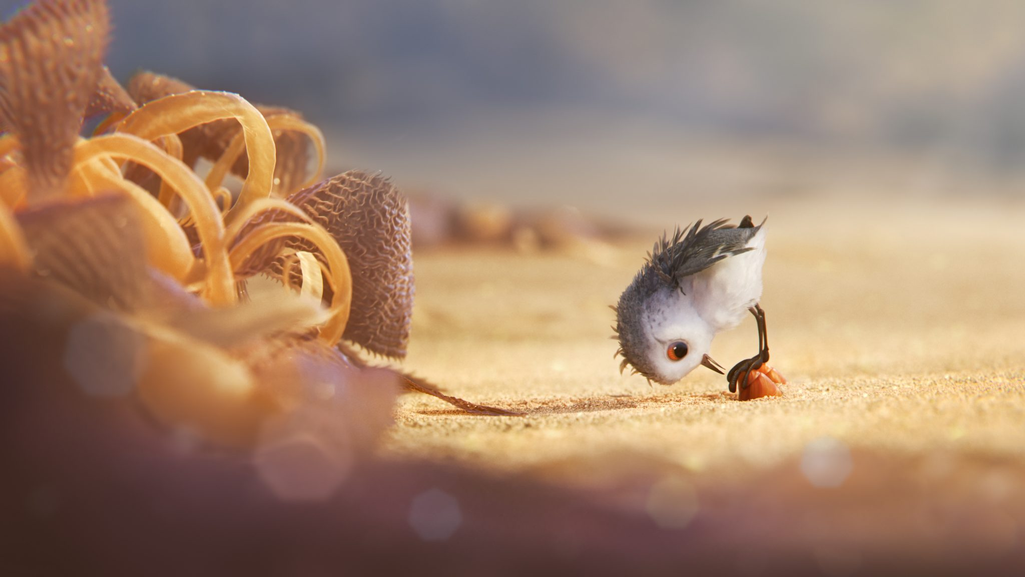 A hungry sandpiper hatchling ventures from her nest for the first time to dig for food by the shoreline.